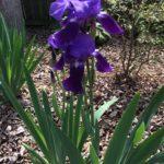 Iris Spp
